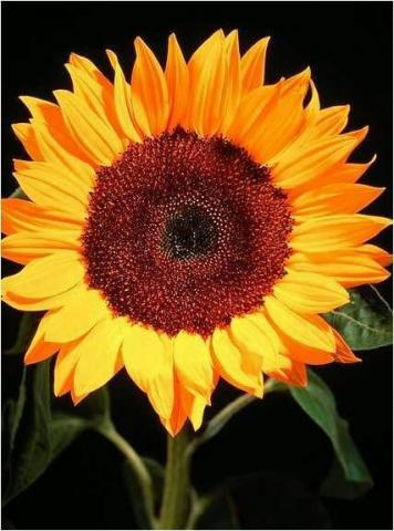 Sunflower%2C_Gorgeous_%283%29.jpg